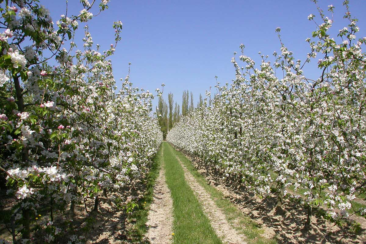 Flowering orchards on Barthelasse Island © VF